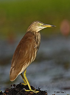 Bittern - Birds Of Chikmagalur