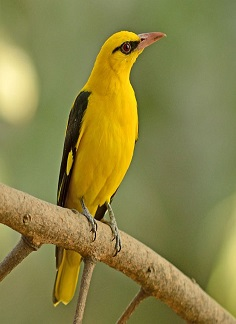 Golden Oriole - birds in chikmagalur