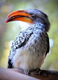 Malabar Grey Hornbill - Birds In Chikmagalur
