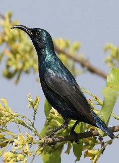 Purple Sunbird - chikmagalur riverwoods