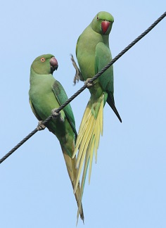 Rose Ringed Parakeet - chikmagalur birds