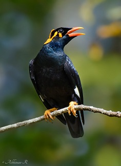Southern Hill Myna - Chikmagalur birds riverwoods