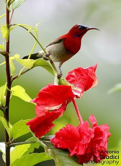 Sunbird - Birds Of Chikmagalur