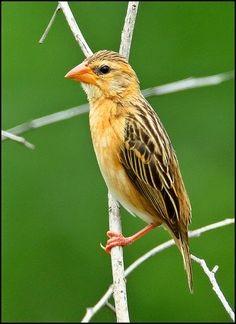 Weaver bird - Chikmagalur Birds