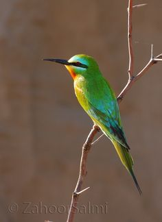 Bee Eater - Chikmagalur