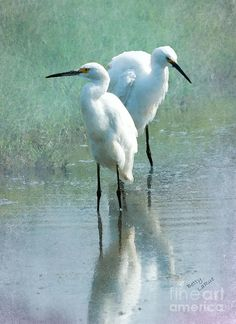 Egret - Birds In Chikmagalur