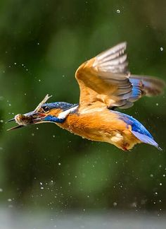 KingFisher - birds of Chikmagalur